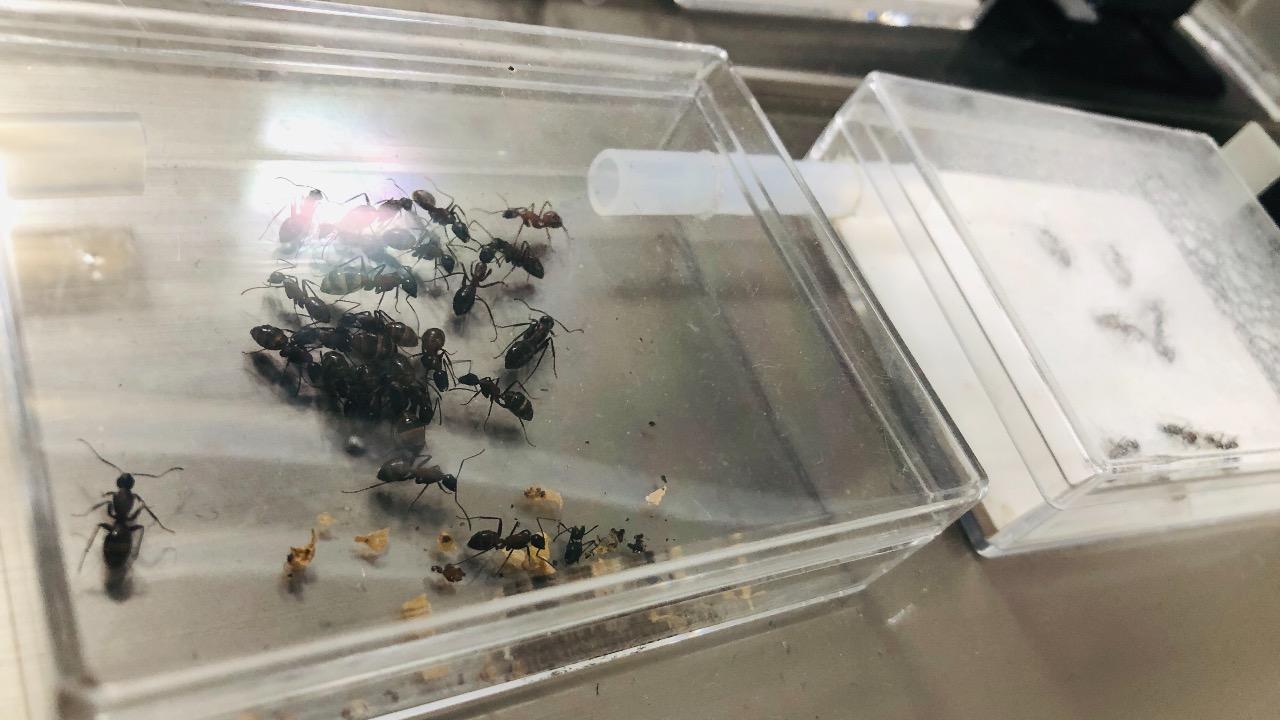 ムネアカオオアリ飼育環境の画像2